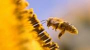 Macro of a honeybee in a sunflower